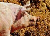 В Лопатинской районе  торжественно открыли свинокомплекс