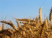 Из-за засухи аграрии Пензенской области потеряли 500 млн рублей